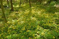 ヤマブキ草 - お花びより