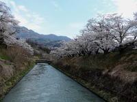 長野そぞろ歩き:通勤桜(その3) - 日本庭園的生活
