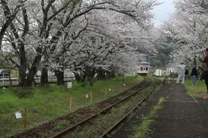 2017 桜4月9日 伊万里市 - 光と影のさがしもの
