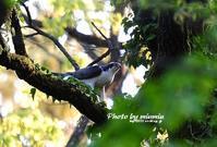 オオタカ(大鷹) 雄 - azure 自然散策 ~自然・季節・野鳥~