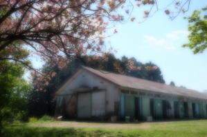 さくらみち・・・牧場編 - aya's photo