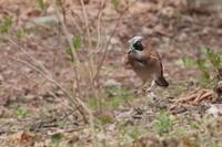 4月に写した野鳥 - 上州自然散策2