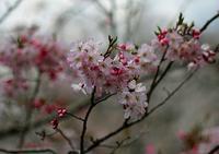 桜&モズ - JUNちゃんの花鳥風月