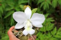 C.walkeriana alba 'HI' - ラブ蘭ソフロ