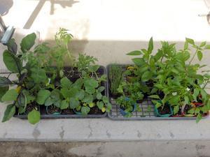 夏野菜の苗を購入 - 飛行機とパグが好きなお母さんの日記