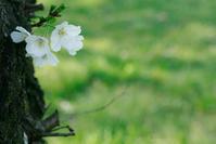 桜ストック - ナナイロノート