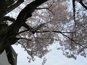 桜満開四月が終わるころ - ユリ百合ゆり魚沼農場の日々