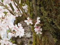 桜満開 四月が終わるころ - ユリ 百合 ゆり 魚沼農場の日々