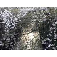 目黒川のさくら - undress