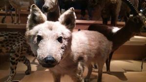 国立科学博物館  常設展のオオカミ  - 歴史と素適なおつきあい