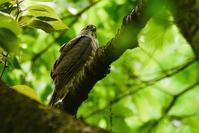 ツミの幼鳥を - デジタルカメラで遊ぶ 気まぐれ備忘録