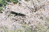 春景飛翔 桜クマタカ - expeedのbirdisland あの日あの時あの場所で・・・volⅡ