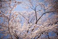 赤城南面千本桜 こぼれる笑みと溢れる元気 - Full of LIFE