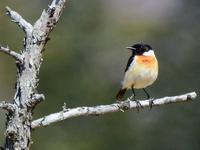 胸の橙色と頭黒のコントラストが鮮やか・・・戦場ヶ原でノビタキのオス夏羽♪ - 『私のデジタル写真眼』