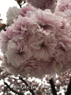 美しい桜色の景色 - 日々是風水