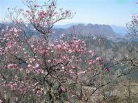 下仁田町 アカヤシオで賑わう物語山     Mount Monogatari in Shimonita, Gunma - やっぱり自然が好き