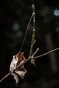 ミスジチョウの越冬巣 - こんなものを見た2