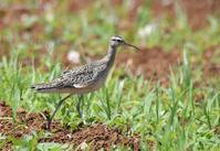 Little Curlew - AVES