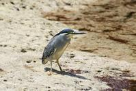 Striated Heron - AVES