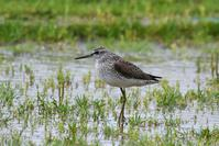 Wood Sandpiper - AVES