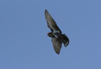 Pacific Swallow - AVES
