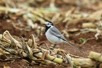 White Wagtail (M.a.ocularis) - AVES