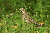 Olive-backed Pipit - AVES