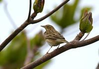 Tree Pipit - AVES