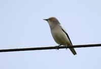 White-shouldered Starling - AVES