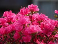 ツツジが咲いています。 - Taro's Photo