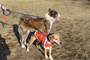 桜と3匹の記念撮影 - お転婆コーギー犬とEOS Kiss Dでのお散歩フォト