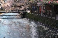 城崎にて~桜降る頃~ - 但馬・写真日和