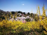 百花繚乱の花見山2 @福島県福島市 - 963-7837