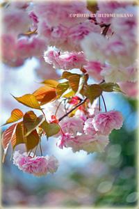 八重桜も見頃 Nikon D800  兼六園後、自宅近所遊歩道桜撮影です - ひとみの興味津々でございます!日々のブログ
