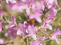 ヤマツツジに吸蜜に来る蝶たち - スポック艦長のPhoto Diary