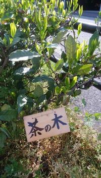 茶の木を見つけてね - どうすりゃ~いいだかしん 金谷駅前通り活性化プロジェクト