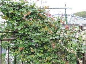 バラの消毒 - スノードロップ