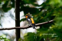 キビタキというきれいな鳥を 初めて見た - サカナのおカオ