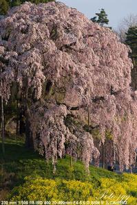 合戦場の桜 二本松市岩代町・・・ - ぶらりカメラウォッチ・・