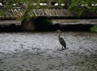 祇園新橋の鷺 - たんぶーらんの戯言