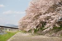 桜の見納め - オット、カメラ(と自転車)に夢中