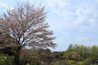 昭和記念公園フラワーフェスティバル☆春爛漫で桜も~ 1 - Let's Enjoy Everyday!