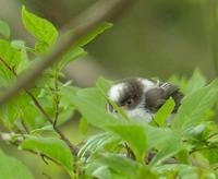 エナガ - 多摩子の鳥見 ・ 散歩