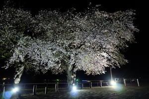 夜桜。 - んだず(´・ω・)