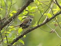 公園で見たウグイスなど - コーヒー党の野鳥と自然 パート2