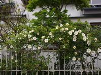 垣根の白バラ - エンジェルの画日記・音楽の散歩道