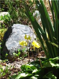 黄花カタクリが、咲きました。 - Que Sera *Sera