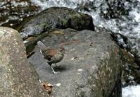 渓谷のカワガラス - ずっこけ鳥撮り日記