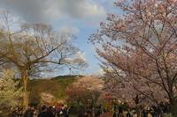 円山公園 - 都忘れと忘れな草