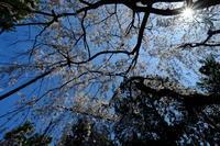 まだまだ続く京都の桜 - 錦眼鏡